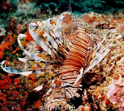Lion Fish posing on a ledge.  Nikonos V 28mm with Ikeligh... by Marylin Batt 